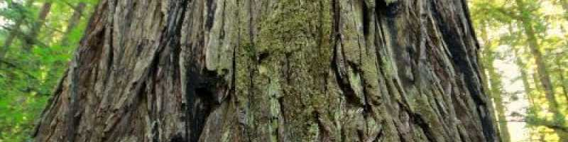 The giant trees theory