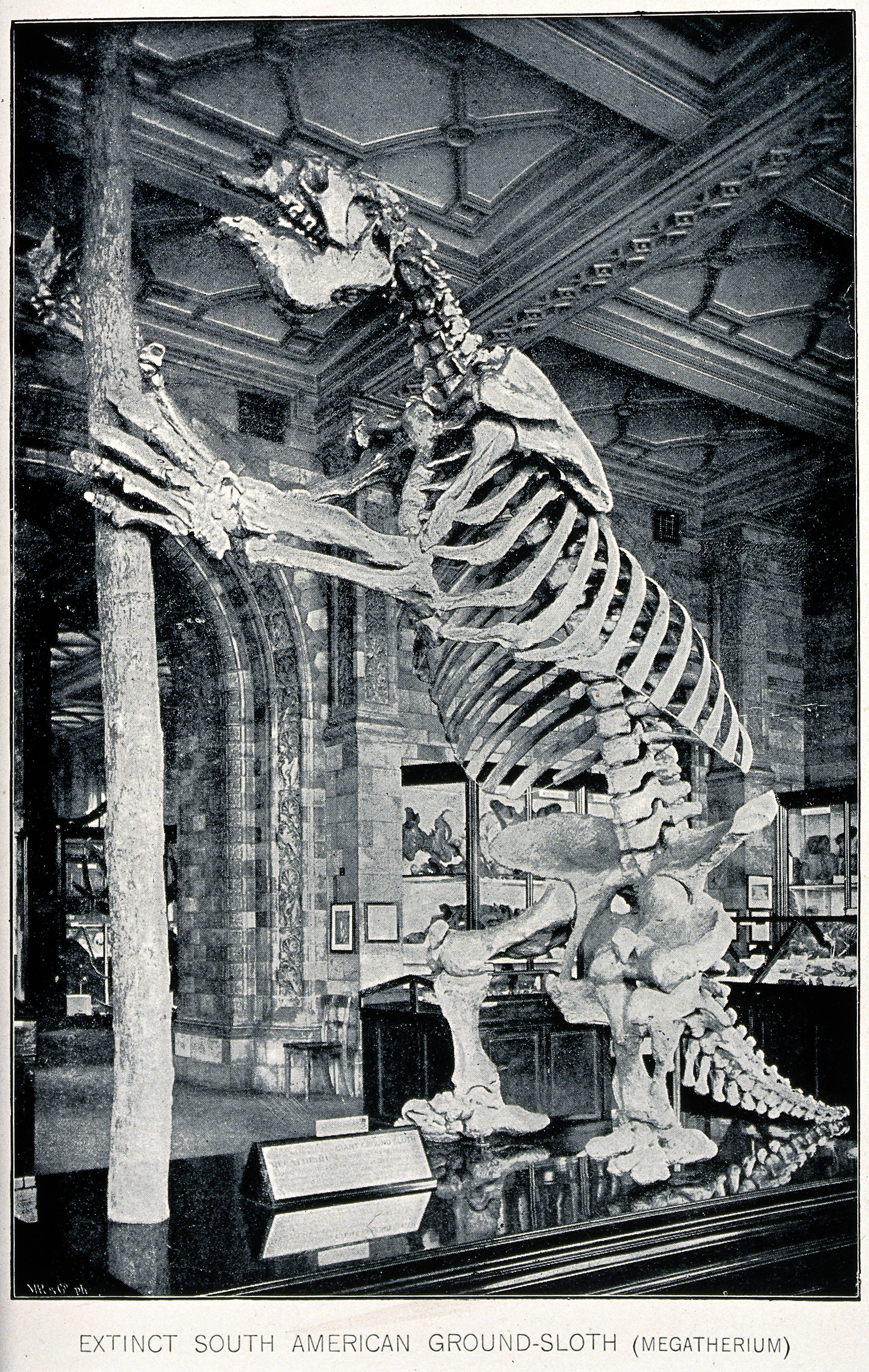 Does history hide the past existence of giants?-The_skeleton_of_a_South_American_ground-sloth